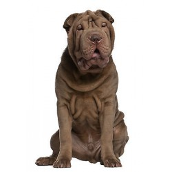 Sticker animal chien Sharpei réf 752